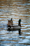 Two Ducks Frolicking in a Lake Royalty Free Stock Photos