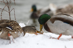 Two ducks on frozen lake Royalty Free Stock Image