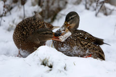 Two ducks on frozen lake Stock Image