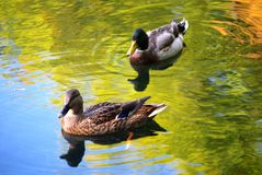 Two Ducks on Golden Pond Stock Image