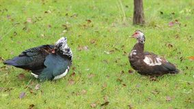 Two ducks on the grass. Ducks of various colors are near. Two ducks are standing on green grass the grass, on the grass is a lot of dry leaves and wood, duck stock video