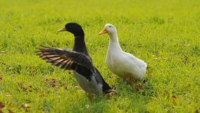 Two ducks on grass. In the meadow stock footage
