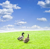 Two ducks on a green meadow under a cloudy sky Stock Photography