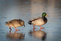 Two ducks on ice Stock Photography