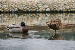 Two ducks in an icy pond. Male and female duck on the edge of an ice sheet on a half frozen pond Stock Photo
