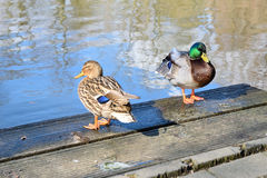 Two ducks on the lake. Two beautiful ducks on the lake Royalty Free Stock Photo