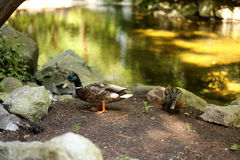 Two ducks on the lake. Duck and drake on the shore of the lake Royalty Free Stock Image