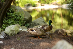 Two ducks on the lake. Duck and drake on the shore of the lake Royalty Free Stock Images