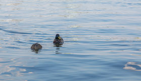 Two ducks on a lake Royalty Free Stock Photo