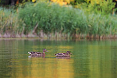Two ducks on the lake. Mallard at sunset on the forest lake Royalty Free Stock Images