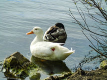Two ducks on lake. Two ducks relaxing near lake shore, one is sleeping, the white one just woke up Royalty Free Stock Photos