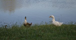 Two ducks beside a lake Royalty Free Stock Image