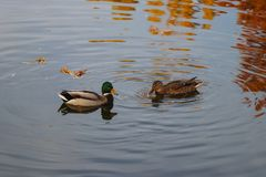 Two ducks in the lake royalty free stock photography