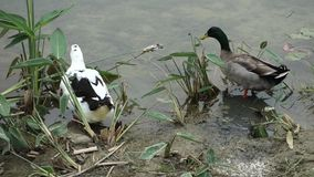 Two ducks. On the lakeside stock video footage