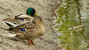 Two ducks looking in the distance Royalty Free Stock Images