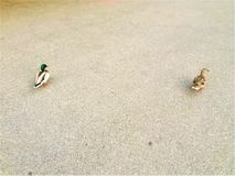 Two ducks lost in the street. Animal, space and asphalt. City life, double trouble, loneliness and freedom, safe distance and natural attitude royalty free stock photo