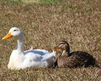 Two ducks in love. Beautiful white Pekin duck with a female Mallard duck enjoying each other's company Royalty Free Stock Images