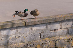 Two ducks. Male and female. The male raised leg. Female on one leg Royalty Free Stock Images