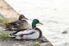 Two ducks male and female resting near a river Royalty Free Stock Photo