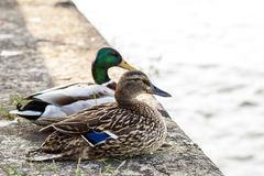 Two ducks male and female resting near a river Royalty Free Stock Photography