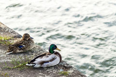 Two ducks male and female resting near a river Stock Photos