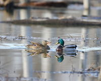 Two ducks. A mallard hen appears to be nagging the drake Stock Photo