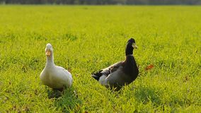 Two ducks. On a meadow stock video footage