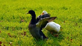 Two ducks. On a meadow with natural audio sound stock video footage