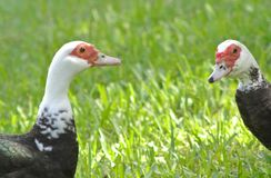 Two ducks meet royalty free stock images