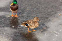 Two ducks in the melting ice Stock Photo