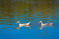 Two ducks move on water. On sunny day Stock Images