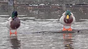 Two ducks in Munich, Germany, during the snow storm.  stock video footage