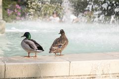 Two ducks near fountain. stock images