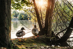 Two ducks nearby a lake Royalty Free Stock Image
