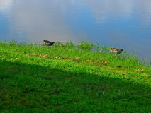 TWO DUCKS, AND ONE LITTLE ONE AT WALDEN LAKE Stock Photography