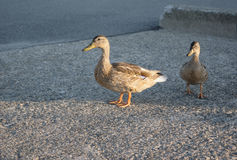 Two ducks on pavement in the evening Stock Image