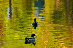 Two ducks in pond. Two ducks and trees reflection in pond Stock Images