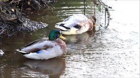 Two ducks in a pond. Two ducks cleaning its feathers in a pond stock video footage