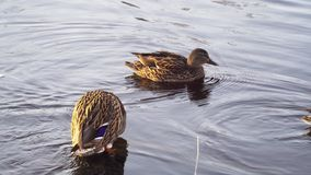 Two ducks in the pond cleaning wings and feathers stock footage