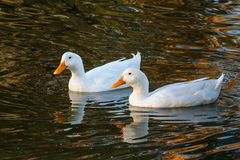 Two Ducks in a Pond Stock Images