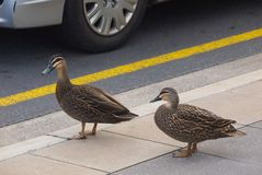 Two ducks preparing to cross street. Adelaide, Australia - August 30, 2017: A pair of ducks prepare to cross the road on Pultney Street in the city center Royalty Free Stock Photos