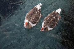 Two Ducks're swimming in the water. Royalty Free Stock Photos