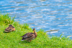 Two ducks resting by the lake on a  lawn Royalty Free Stock Images