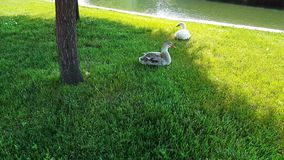 Two ducks resting near a pond start running away on green grass. Two ducks resting near a pond start walking on green grass in a park stock video