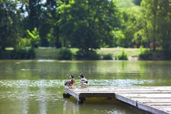 Two ducks resting on a wooden wharf on a sunny day Royalty Free Stock Photo
