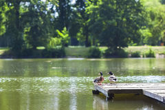 Two ducks resting on a wooden wharf on a sunny day Royalty Free Stock Photography