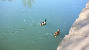 Two ducks in the river stock footage
