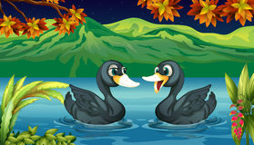 Two ducks in the river Stock Photos