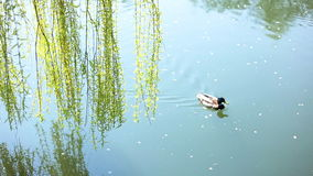 Two ducks in the river. Under the branch of willow, Full HD stock video footage