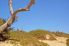 Two Ducks on Sand Dune Next To Tree Royalty Free Stock Images